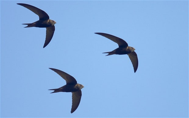 190210 swifts in flight